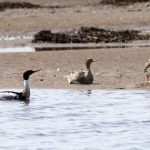 Red breasted Mergansers Findhorn Bay 20 Jun 2017 Richard Somers Cocks