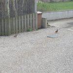 Red legged Partridge Hopeman 1 Apr 2017 Laura Main 4