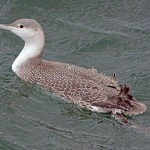 Red throated Diver Lossiemouth 14 Mar 2014 Gordon Biggs