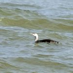 Red throated Diver Lossiemouth 21 Oct 2017 Gordon Biggs