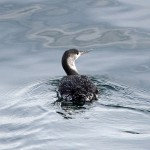 Red throated Diver Lossiemouth 22 Jan 2015 Gordon Biggs