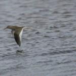 Redshank Lossie estuary 25 Sept 2014 David Main