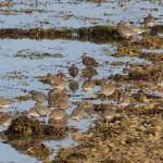 Redshanks Findhorn Bay 9 July 2014 Richard Somers Cocks