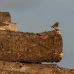 Redstart female Elchies Forest 13 May 2015 David Main