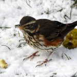 Redwing Forres 28 Feb 2018 Alison Ritchie