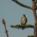 Redwing Inchnacape 31 May 2013 Moray Souter