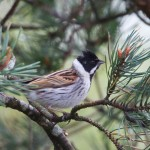 Reed Bunting Loch Spynie 4 May 2014 Richard Somers Cocks