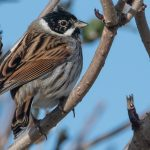 Reed Bunting Lossie estuary 14 Mar 2017 Mike Crutch P