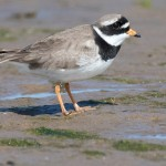 Ringed Plover Lossie estuary 1 May 2015 Mike Crutch