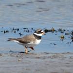 Ringed Plover Lossie estuary 8 Apr 2014 Gordon Biggs