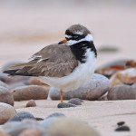 Ringed Plover Lossiemouth east beach 20 Aug 2013 Margaret Sharpe