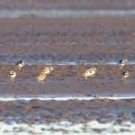 Ringed Plovers Findhorn Bay 3 Dec 2014 Richard Somers Cocks