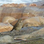 Rock Pipit 9 Lossiemouth 21 Oct 2013
