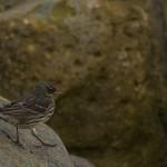 Rock Pipit Lossiemouth 15 Jan 2015 David Main