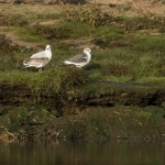Sabines Gull Lossie estuary 28 Sept 2014 David Main 2