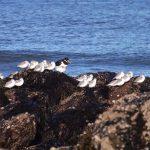 Sanderling Covesea beach 5 Feb 2017 Lisa Stewart