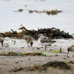 Sanderling Lossie estuary 26 Aug 2017 Gordon Biggs