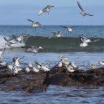 Sanderling Lossiemouth 22 Mar 2018 Margaret Sharpe P