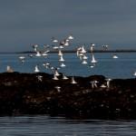 Sanderlings Lossiemouth west beach 24 Apr 2015 David Main