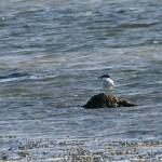 Sandwich Tern Burghead 24 Mar 2014 Tony Backx 1