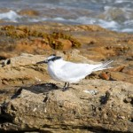 Sandwich Tern Burghead 25 Sept 2015 Gordon Biggs