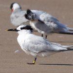 Sandwich Tern Findhorn beach 1 Sep 2017 Richard Somers Cocks