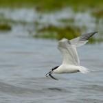 Sandwich Tern Lossie estuary 15 July 2014 David Main 1