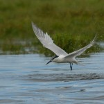 Sandwich Tern Lossie estuary 15 July 2014 David Main 4