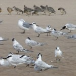 Sandwich Terns with Knot Findhorn 31 Aug 2014 Richard Somers Cocks