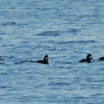 Scaup Loch Spynie 6 Jan 2017 Martin Cook P