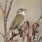 Sedge Warbler Tugnet 10 May 2013 Alison Ritchie