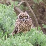Short eared Owl Netherton 18 Jul 2015 Richard Somers Cocks 1