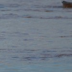 Shoveler Lossie estuary 27 Sept 2013 David Main 2