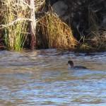 Smew Loch Allan 20 Feb 2014 Alison Ritchie
