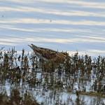 Snipe Lossie estuary 4 Jan 2014 Gordon Biggs1