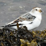Snow Bunting Lossie estuary 14 Apr 2014 Grahame Anderson