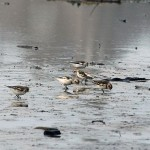 Snow Buntings Lossie estuary 31 Jan Gordon Biggs 1