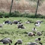Snow Geese Coltfield 26 Apr 2013 Gordon Biggs 1
