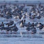 Snow Goose Findhorn Bay 20 Feb 2018 Richard Somers Cocks