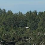 Snow Goose Findhorn Bay 4 Oct 2015 Martin Cook