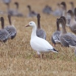 Snow Goose Waterford 7 Oct 2015 Richard Somers Cocks