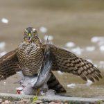 Sparrowhawk Elgin 21 Sep 2017 David Main P
