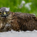 Sparrowhawk Fochabers 11 Sept 2017 Nick Mellor