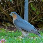 Sparrowhawk Forres 16 Nov 2013 Alison Ritchie