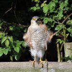 Sparrowhawk Moor of Tore 18 Jun 2017 Geoff Debbie Smith P