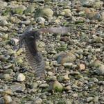 Sparrowhawk Portgordon harbour 6 Sept 2015 Martin Cook