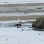 Spoonbill Findhorn Bay 14 June 2014 Roy Dennis
