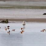 Spoonbill Findhorn Bay 15 June 2014 Richard Somers Cocks