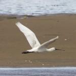 Spoonbill Findhorn Bay 17 June 2014 Richard Somers Cocks 2