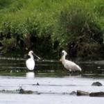 Spoonbills Findhorn Bay 27 June 2014 Gordon Biggs 2